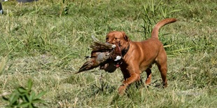 vign_chien_chasse_2