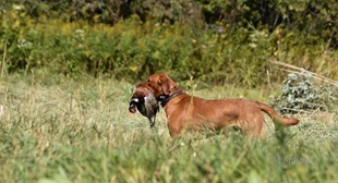 vign_chien_chasse